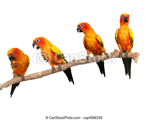 Happy Sun Conure Parrots on a Perch on White Background - csp4586339