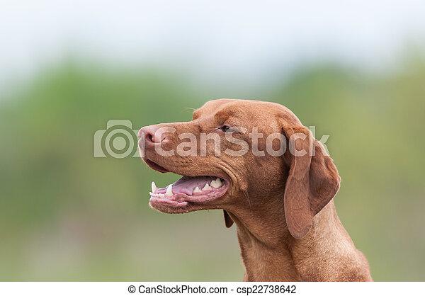Happy Vizsla Dog in a Green Field - csp22738642