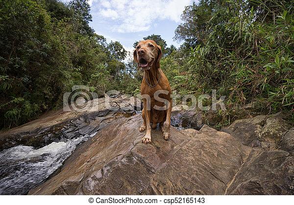 happy vizsla dog outdoors - csp52165143