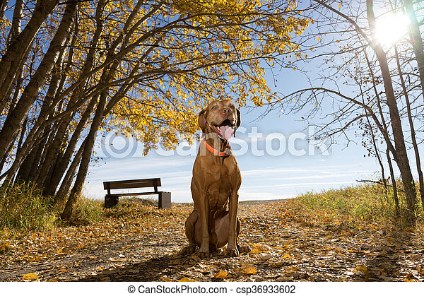 happy vizsla dog sitting in the park - csp36933602