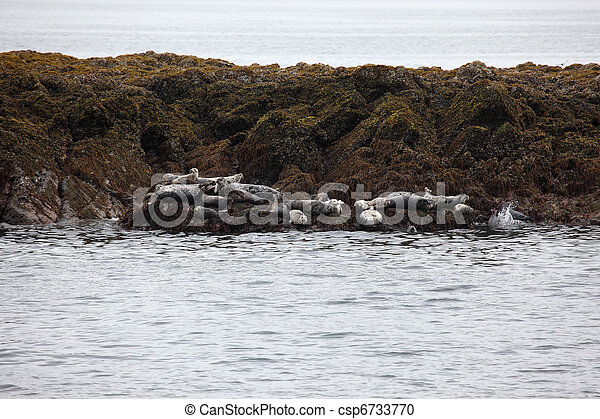 Harbor Seals - csp6733770