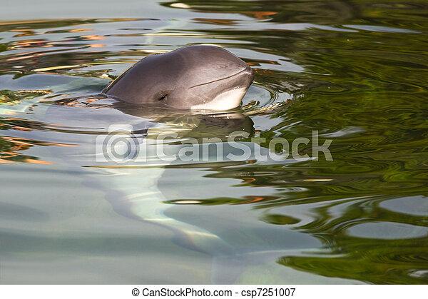 Harbour porpoise or Phocoena phocoena - csp7251007