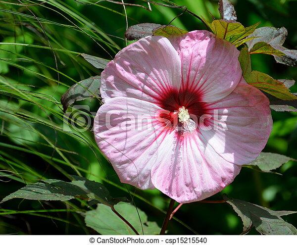 Hardy Hibiscus Flower - csp15215540