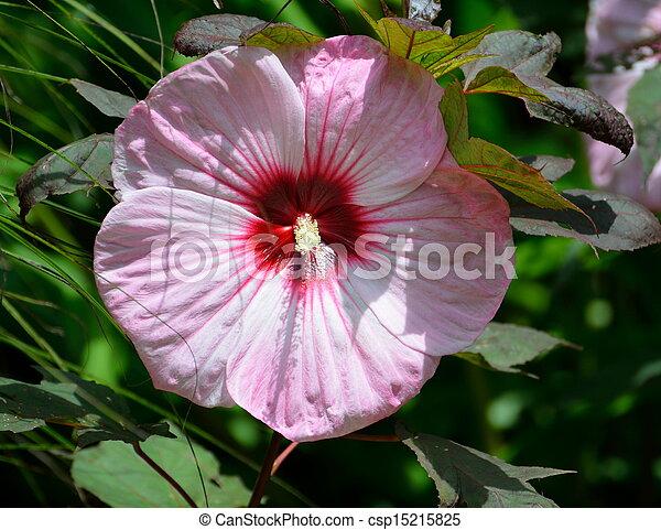 Hardy Hibiscus Flower - csp15215825