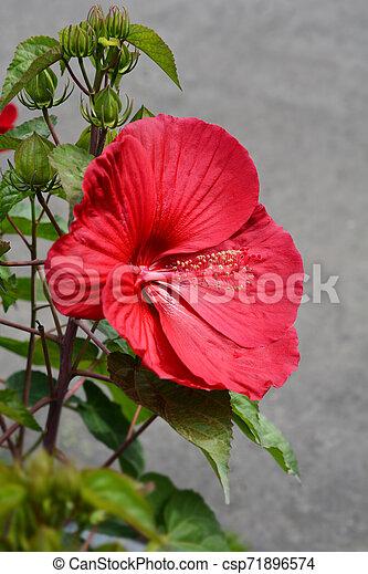 Hardy hibiscus Luna Red - csp71896574