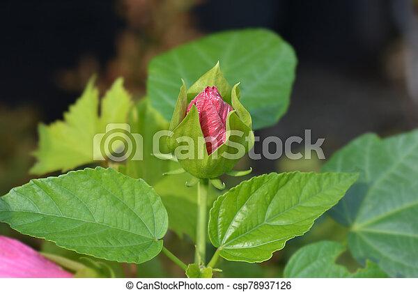 Hardy hibiscus Luna Red - csp78937126