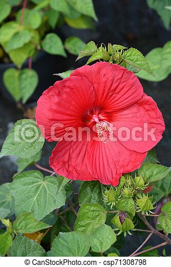 Hardy hibiscus Luna Red - csp71308798