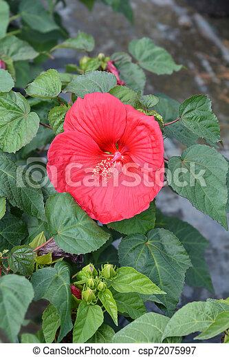 Hardy hibiscus Luna Red - csp72075997