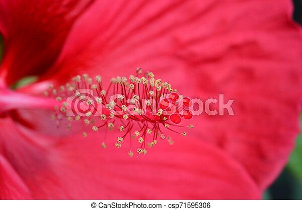 Hardy hibiscus Luna Red - csp71595306