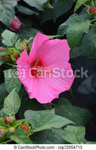 Hardy hibiscus Luna Rose - csp72054713