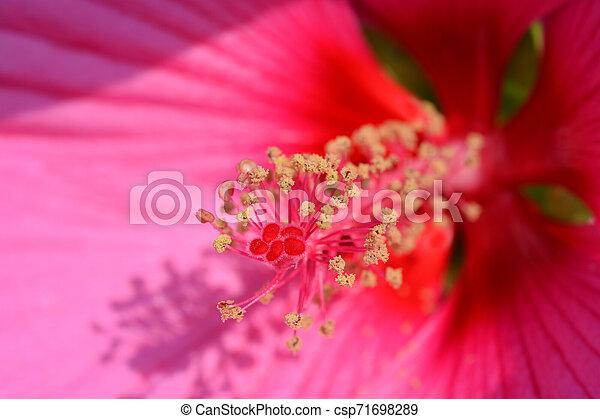 Hardy hibiscus Luna Rose - csp71698289