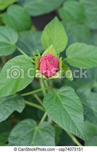 Hardy hibiscus Luna Rose - csp74073151