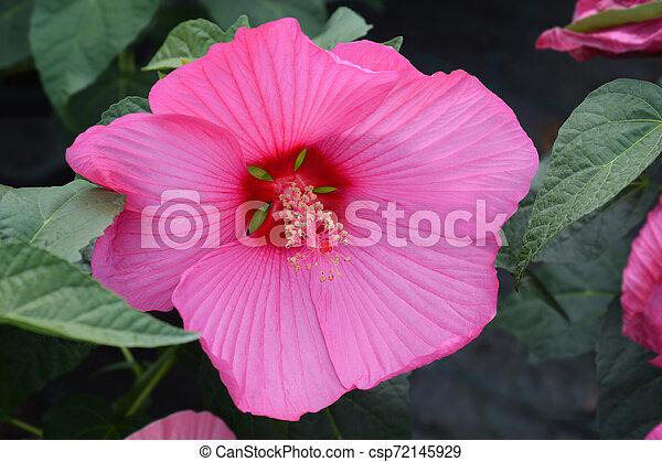 Hardy hibiscus Luna Rose - csp72145929