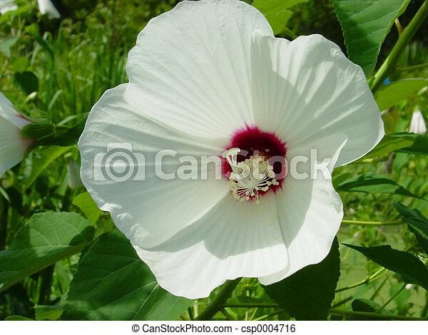 Hardy Hibiscus - csp0004716