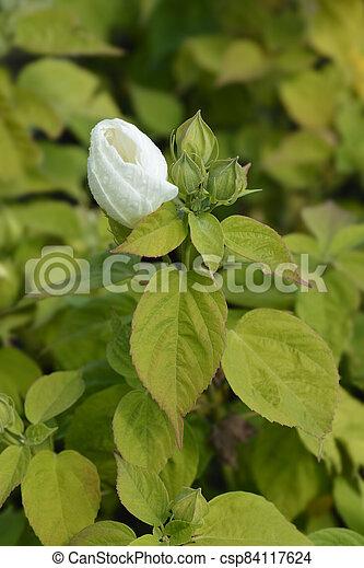 Hardy hibiscus - csp84117624