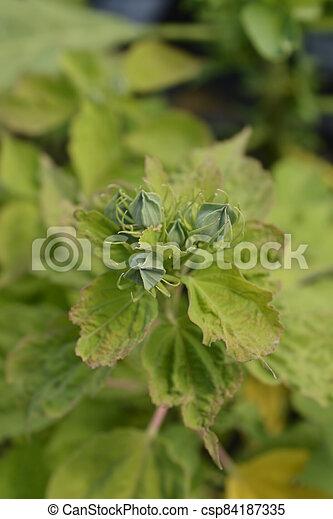 Hardy hibiscus - csp84187335