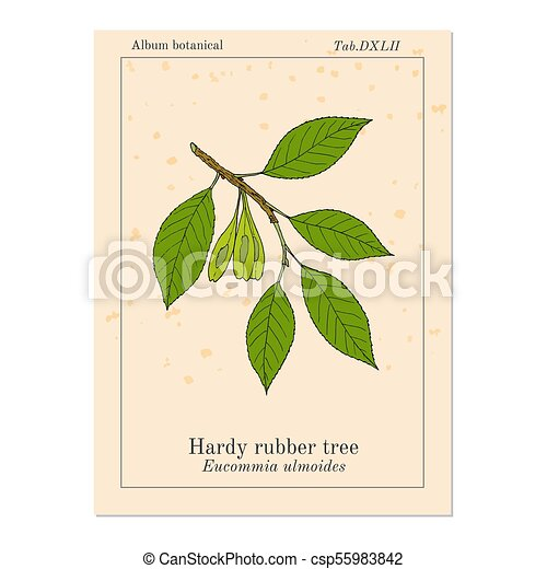 Hardy Rubber Tree Eucommia Ulmoides Medicinal Plant Hand Drawn