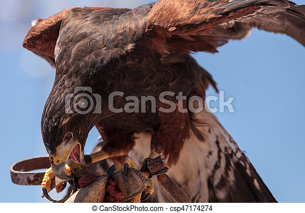 Harris Hawk Parabuteo unicinctus a bird of prey - csp47174274