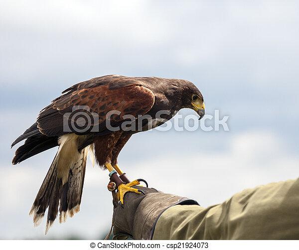 Harris Hawk - Parabuteo unicinctus - csp21924073