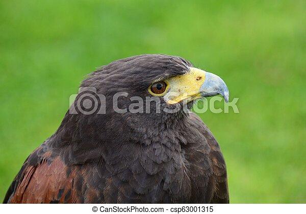Harris hawk (parabuteo unicinctus) - csp63001315