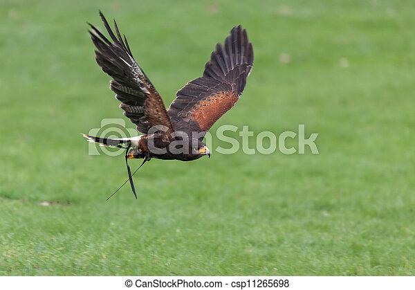 Harris Hawk (Parabuteo unicinctus) - csp11265698