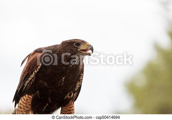 Harris Hawk Parabuteo unicinctus - csp50414694