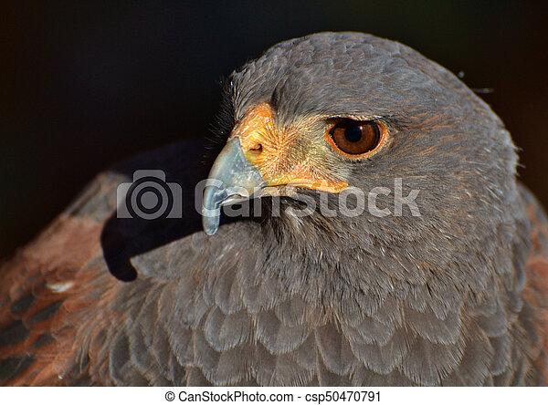 Harris Hawk (Parabuteo unicinctus) - csp50470791