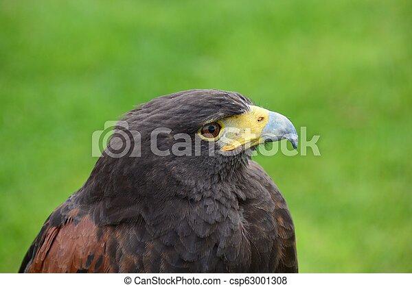 Harris hawk (parabuteo unicinctus) - csp63001308