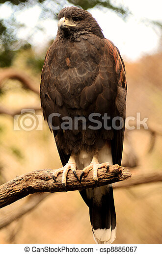 Harris Hawk Perched on a Branch - csp8885067