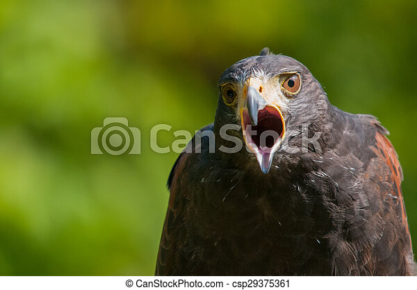 Harris Hawk - csp29375361
