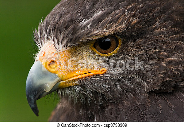 Harris hawk - csp3733309