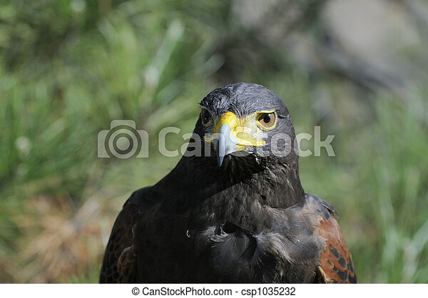 Harris Hawk watching - csp1035232