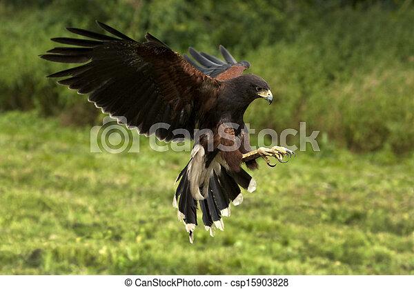 Harris's Hawk (Parabuteo unicinctus) - Ecuador - csp15903828