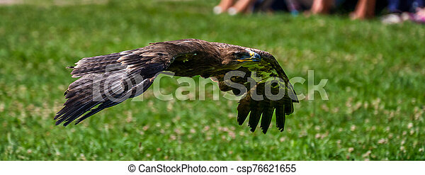 Harris's hawk, Parabuteo unicinctus, bay-winged hawk or dusky hawk - csp76621655