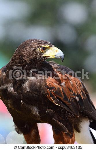 Harris's hawk (parabuteo unicinctus) - csp63463185