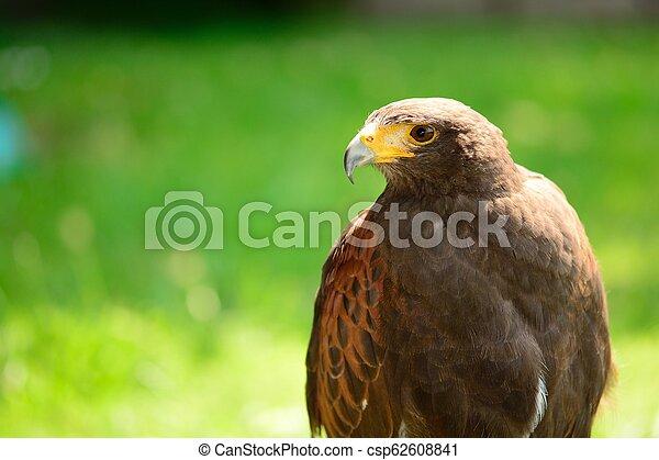 Harris's hawk (Parabuteo unicinctus) - csp62608841
