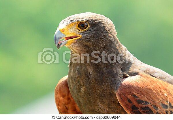 Harris's hawk (Parabuteo unicinctus) - csp62609044