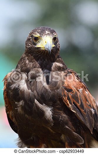 Harris's hawk (parabuteo unicinctus) - csp62933449