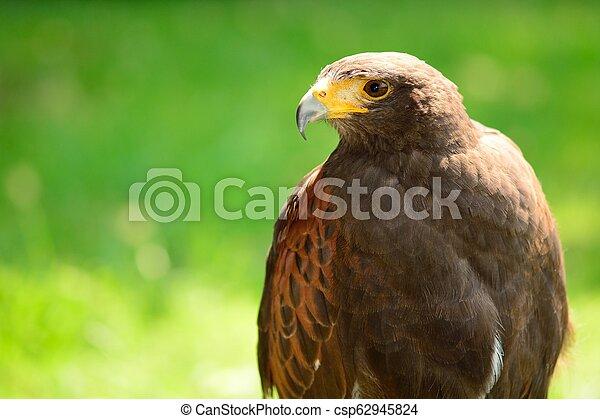 Harris's hawk (Parabuteo unicinctus) - csp62945824