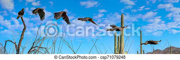 Harris's Hawk Parabuteo unicinctus flying sequence Saguaro - csp71079248