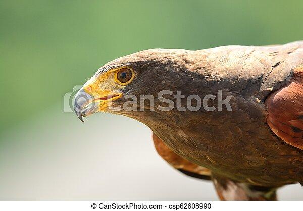 Harris's hawk (Parabuteo unicinctus) - csp62608990