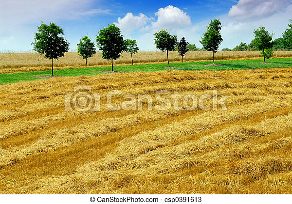 Harvest grain field - csp0391613