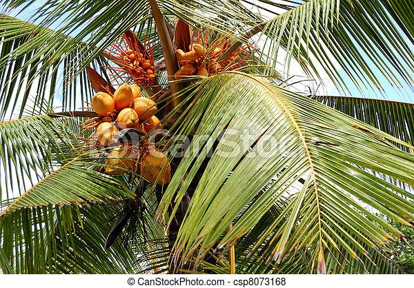Harvest of the coconut palm with yellow fruits, Bentota, Sri Lanka - csp8073168