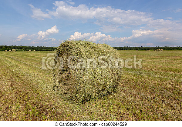 Harvested, mowed grass. Rolled-up hay. - csp60244529