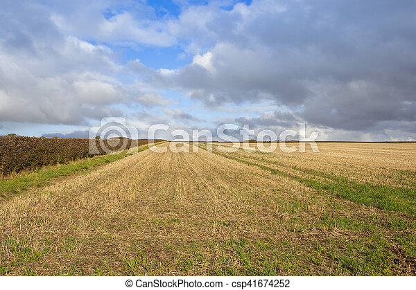 harvested wheat field - csp41674252