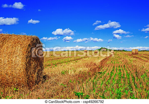 Harvested  wheat field - csp49266792