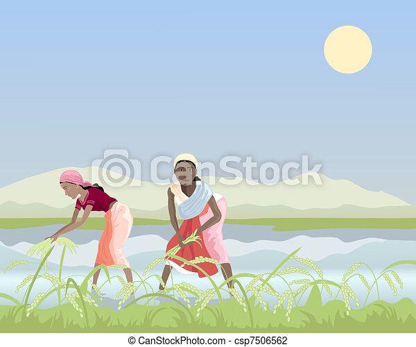 harvesting rice - csp7506562