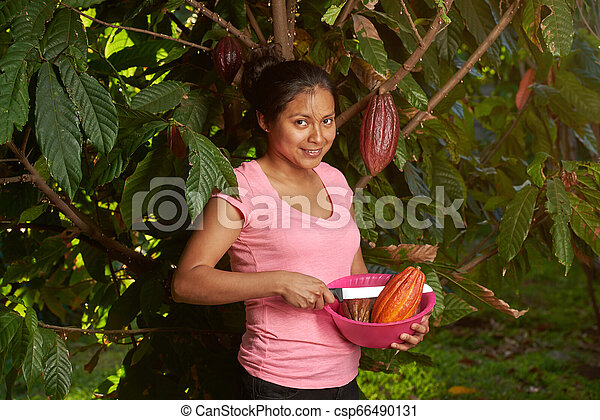 Harvesting time in cacao farm - csp66490131