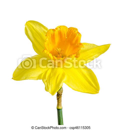 Haut Fleur Jonquille Isole Jaune Arriere Plan Narcisse Fin