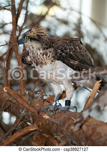 Hawk sitting on a branch. - csp38827127